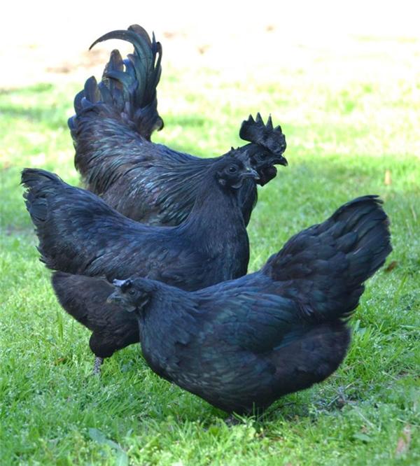 Không những thế, đây còn là giống gà đắt nhất thế giới, mỗi con có giá khoảng 2.500 đô (khoảng 52 triệu đồng).