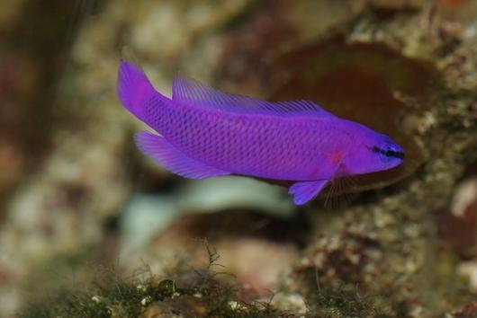 Chúng thường nấp trong các dải san hô kín đáo để tránh kẻ thù.