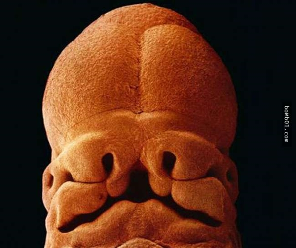Sự dung hợp giữa tế bào ngoài phôi thai và các tế bào rời rạc tại tử cung. Từ đó, hình thành nhau thai.(Ảnh:Lennart Nilsson)