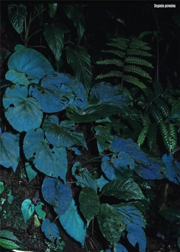 Begonia pavonina sinh sống chủ yếu bên dưới những tán lá dày và tối tăm trong những khu rừng rậm nhiệt đới ở Malaysia.