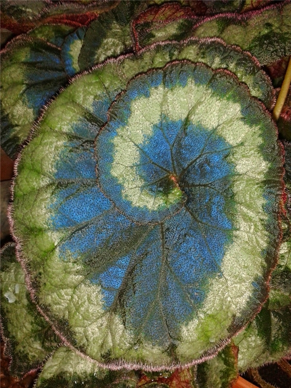 Chính vì sinh sống ở nơi hầu như rất ít ánh sáng mặt trời nên trên bề mặt lá của nó phủ một lớp diệp lục lạ có màu xanh dương óng ánh.