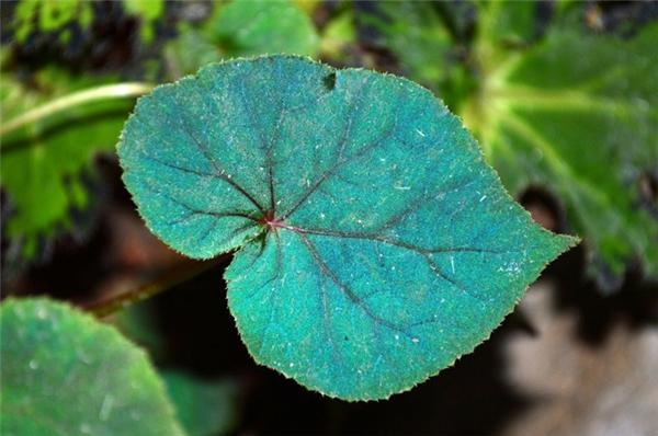 Không những thế, các nhà khoa học còn phát hiện ra rằng những chiếc lá này đã sử dụng một loại công nghệ nano vô cùng đặc biệt để vừa thu lượm từng tia sáng mặt trời chúng có được ở trong điều kiện thiếu sáng, tức ánh sáng đỏ và xanh lá, vừa tái chế biến chúng trở thành ánh sáng, tức năng lượng để tồn tại.