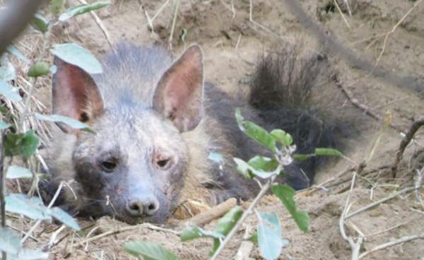 Đáng tiếc, trong 3 chú linh cẩu con có 1 chú đã bị chết.