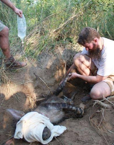Cuối cùng linh cẩu mẹ cũng cho những người nhân viên của quỹ cứu trợ động vật đến gần.