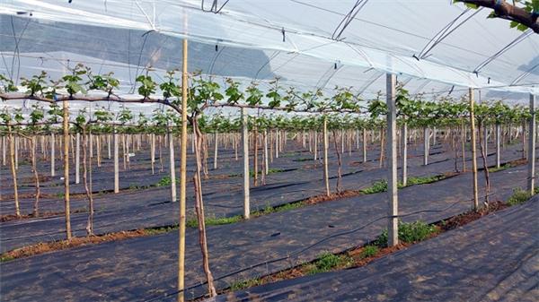 Nho mẫu đơn được trồng trong nhà kính theo mô hình một nhánh, một chùm.