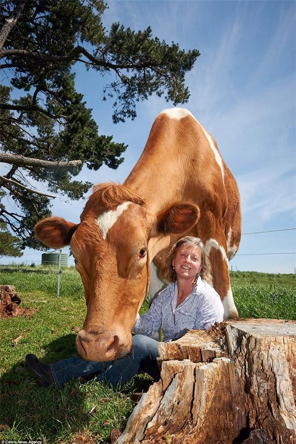 Big Moo hiện đang được nuôi tại trang trại của bà Joanne Vine tại Australia.