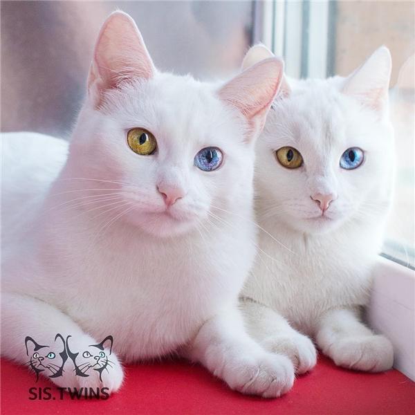 Sở dĩ cặp song sinh này có đôi mắt hai màu là vì chúng mắc chứng loạn sắc tố mống mắt, một loại bệnh di truyền về mắt ở mèo. (Ảnh: Internet)