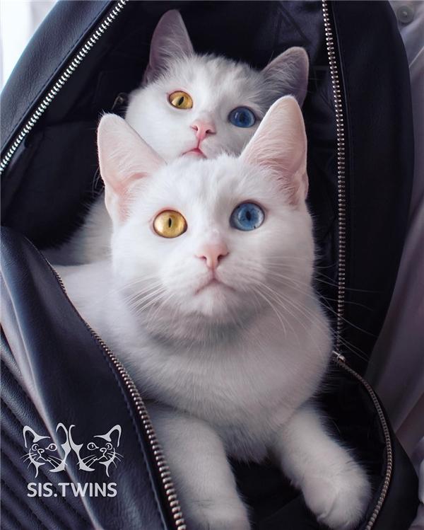 Chúng được lai từ mẹ là mèo trắng và bố là mèo nhị thể có màu lông trắng đen. (Ảnh: Internet)