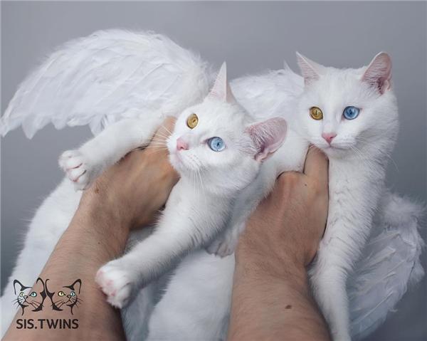 Thiên thần mèo song sinh (Ảnh: Internet)