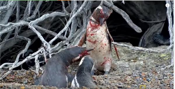 Vụ đánh ghen tàn bạo và xót lòng nhất lịch sử loài... chim cánh cụt