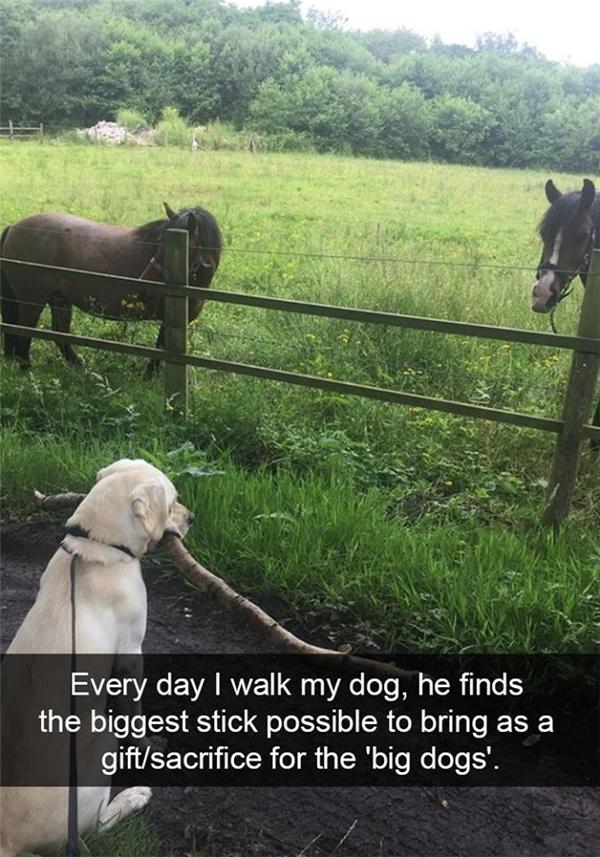 """Mỗi ngày khi dắt boss đi dạo, boss nhà tui đều tìm một nhánh cây bự thế này để tặng cho những bạn ngựa vì nghĩđó là những """"chú chó bự"""" thôi.(Ảnh: Internet)"""