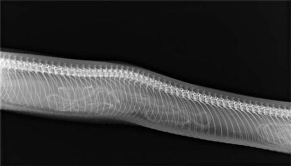 Hầu hết rắn đều đẻ trứng, chỉ có rắn đuôi chuông là một trong số ít ngoại lệ. Ảnh siêu âm củanhững chúrắn đuôi chuông khiến nhiều người liên tưởng đến những con giun đất.