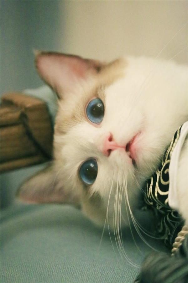 Chết ngất chàng mèo thích cosplay tiểu thư rồi nũng nịu đòi yêu thương