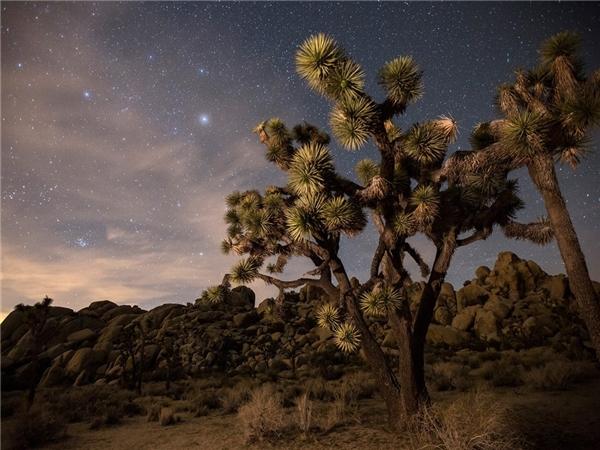 Công viên quốc gia Joshua Tree, sa mạc Mojave, bang California đầy hoang dại.Ảnh: Getty.