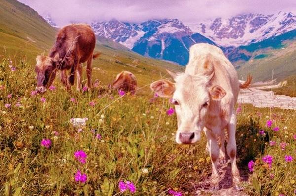 Hình ảnh mà mắt bò thu nhận được đềuphản ánh bởi 2 màu đỏ hoặccam.