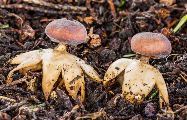 Loại nấm lạ có đầy đủ tứ chi này có chứa nhiều độc tố rất nguy hiểm.