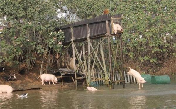 """Hằng ngày những chú lợn sẽ bị chủép """"nhảy cầu tập bơi""""."""