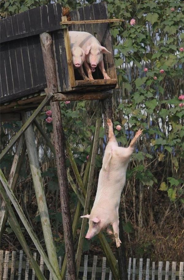Ông chủ có tâm nhất quả đất: Bắt lợn tập thể dục mỗi ngày