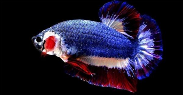 Màu sắc của con cá trùng với màu của quốc kỳ Thái Lan.
