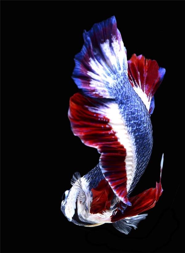 Con cá diễm lệ này được trả giá tới gần 350 triệu VNĐ
