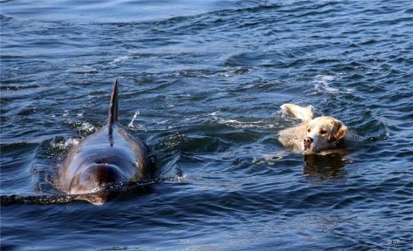 Tình bạn của chú chó và cá heo khiến nhiều người ngạc nhiên vàngưỡng mộ.