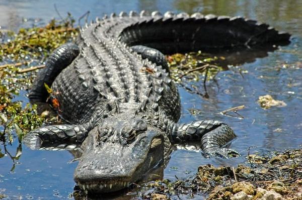 Trong lúc đang tắm nắng ngoài vườn, con cá sấu bất ngờ xuất hiện và tấn công chủ nhà.