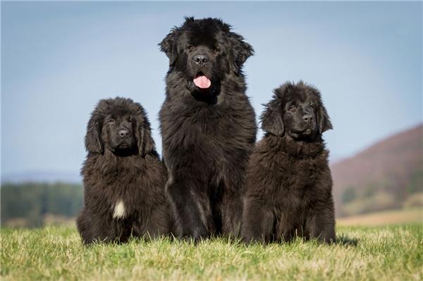 Newfoundland là một giống chó của Canada, được lai từ giống chó sói bản địa với giống chó Ngao khổng lồ.