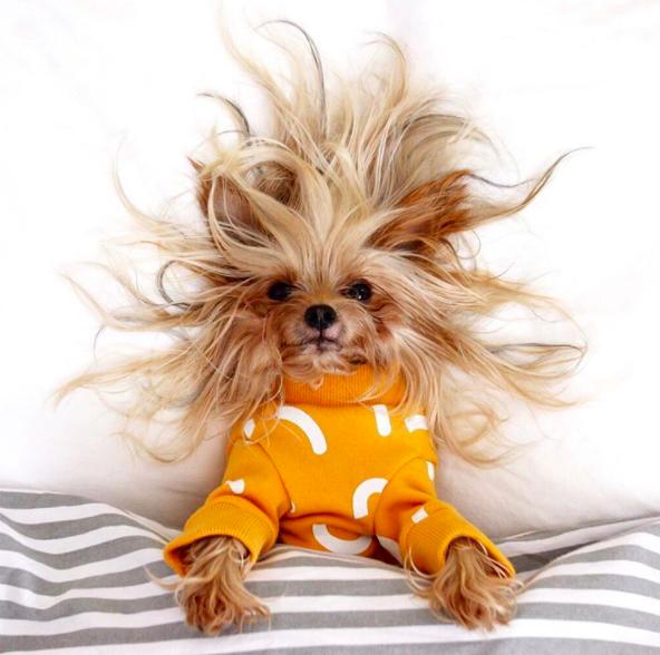 Bộ lông mềm mượt, biểu cảm đáng yêu đã khiến chú chó nhỏ ghi điểm tuyệt đối trong mắt mọi người.