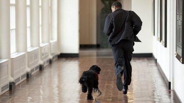 Ông Obama rất yêu thích chú cún Bo và thường xuyên chơi đùa với nó tại Nhà Trắng.