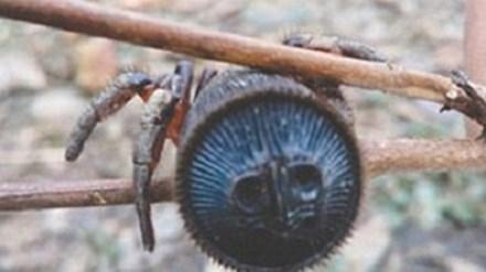 Được biết, con nhện có đặc điểm phù hợp với mô tả trong cổ thư Nhĩ Nhã,là một trong những từ điển lâu đời nhất còn lưu lại của Trung Quốc,xuất bản vào khoảng thế kỷ 2 - 5 trước Công nguyên.
