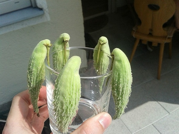 Có phải bạn cũng vừa nghĩ đến những chú chim? Nhưng đây là quả mướp đắng nhé! (Ảnh: Internet)