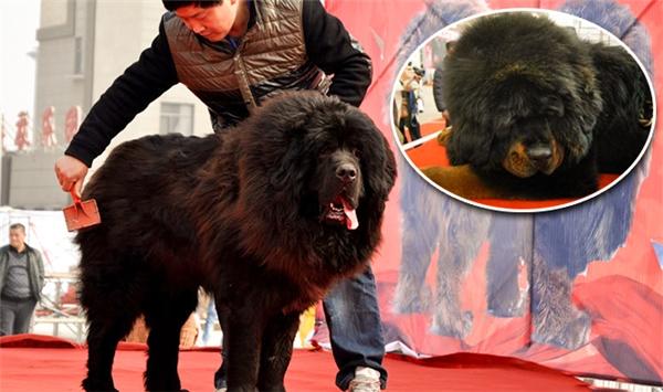 Nhân vật thần khuyển nặng 100kggây bão dư luận tại Trung Quốc.