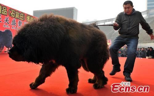 Chú chó Ngao cỡ bự này được ngã giá là 30 triệu NDT (khoảng 99 tỷ VNĐ).