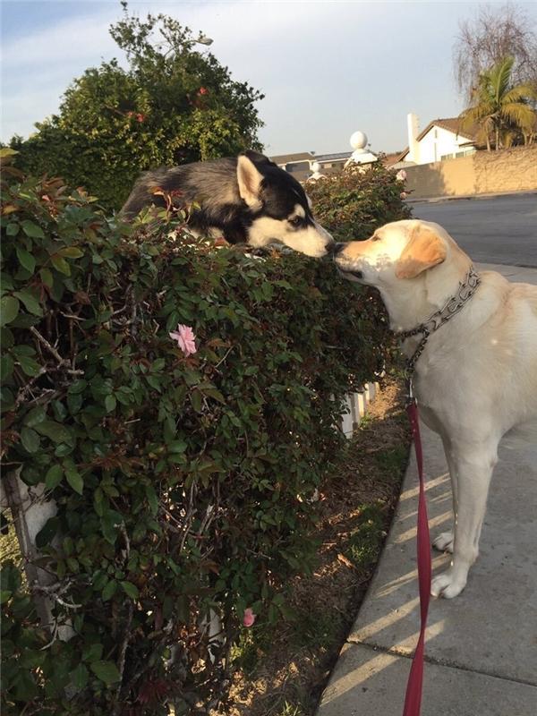 Mỗi lần được dẫn đi dạo là cô gái đều dừng lại bên hàng giậu nhà hàng xóm, và chơi trò Romeo & Juliet với chàng trai ở phía bên kia rào.