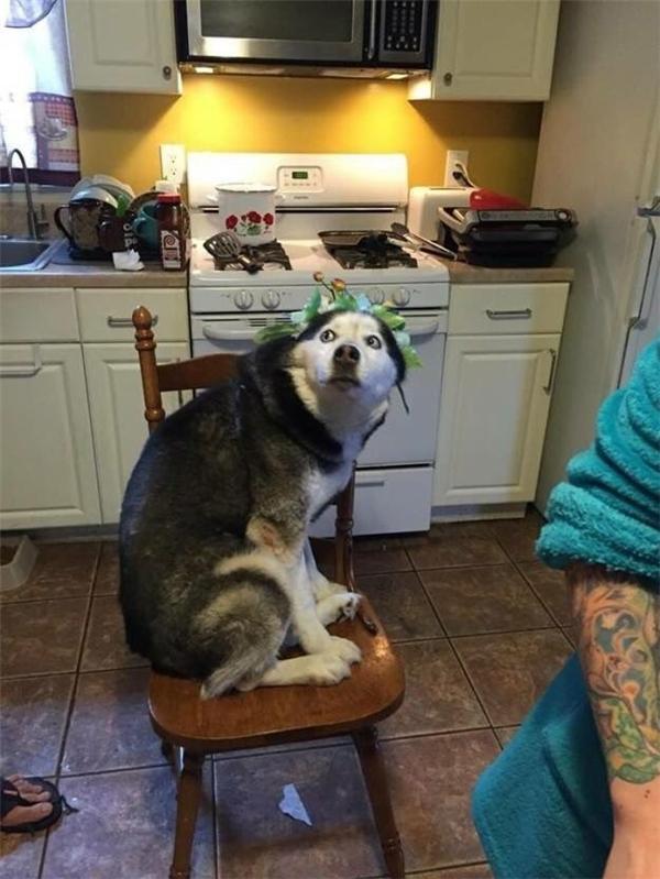 Cái bản mặt của husky khi bị đặt một cái vòng hoa to đùng lên đầu.
