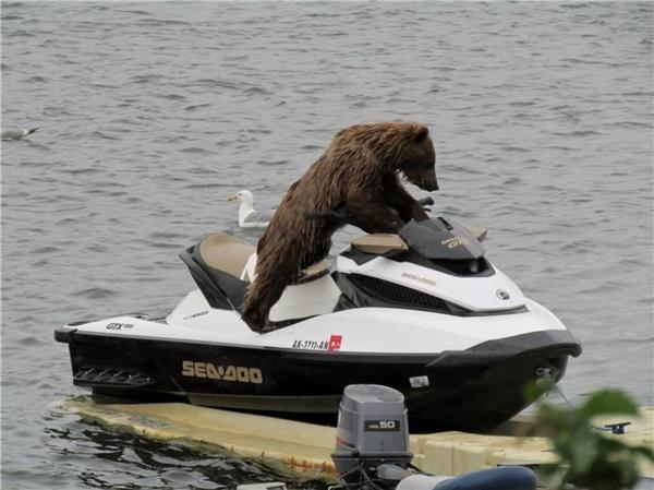 Tranh thủ thời gian rãnh lái du thuyền ra thăm mấy bạn gấu bắc cực cái nè.