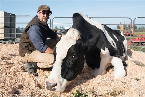 """Với cân nặng 1.1 tấn và cao tới 1m93, chúbò nhiều khả năng sẽ """"vượt mặt"""" Blosom – chúbò sữa nặng 900 kg và cao 1m92 sở hữu kỉ lục Guinness trước đó."""