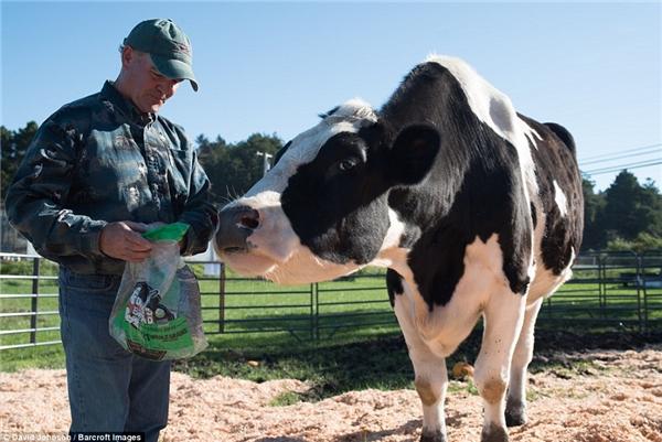 """Một ngày, chúbò sữa này thường ăn tới 4 bữa với lượng thức ăn cực """"khủng"""" gồm 45 kg rơm, 7 kg hạt ngũ cốc, 100 lít nước."""