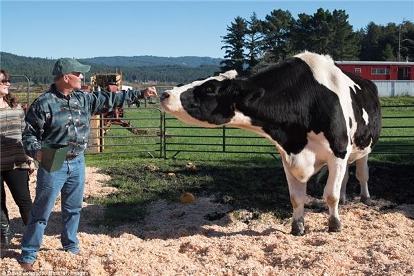 Tìm thấy bò sữa khổng lồ cao nhất thế giới ở trang trại Mỹ