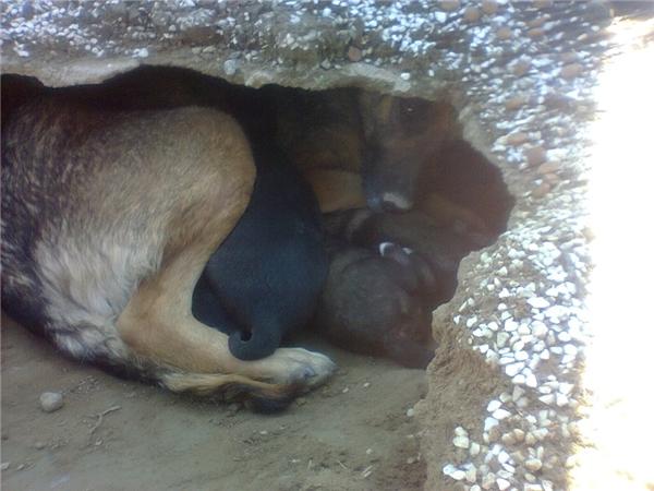 Khi đến gần anh mới vỡ lẽ rằng đây là một gia đình chó đang dùng ngôi mộ làm nơi trú ẩn.