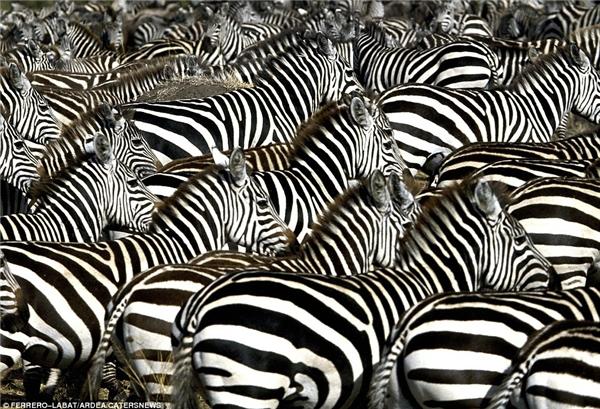 Một trong những sự di cư được đánh giá ấn tượng nhất là của loài ngựa vằn. Đầu năm 2014, hàng đàn con ngựa vằn đã làm sửng sốt giới khoa học khi vượt quãng đường dài hơn 482 km để đi từ Namibia đến Botswana.