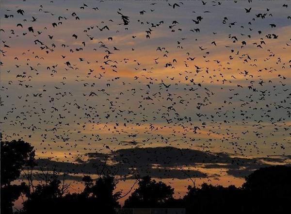 Ở Kasanka, Zambia, nơi ước tính có từ 10 đến 15 triệu con dơi hoa quả di cư từ cuối tháng 10 đến tháng 12, vặt trụi hơn 1 tỉ cây hoa quả mà chúng đi qua. Do không có chiếc hang nào để ngủ lại trong suốt quá trình di cư, nên chúng sẽ đậu trên các cành cây, bụi cỏ và bất cứ bề mặt nào có thể.
