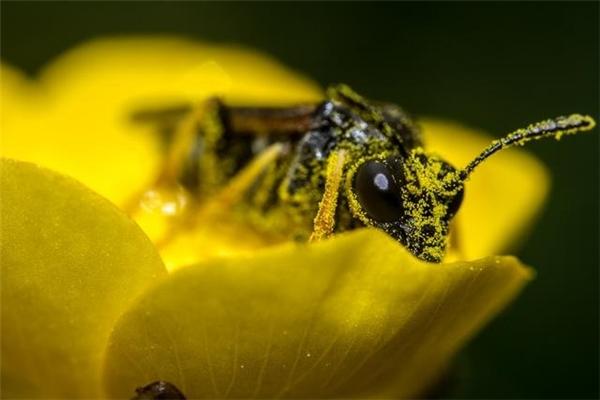 Phấn hoa có thể dùng làm pin. (Ảnh: internet)