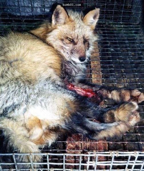 Con cáo bất lựctự cắn nátmình để không phải chịu cảnh bị lột da sống.
