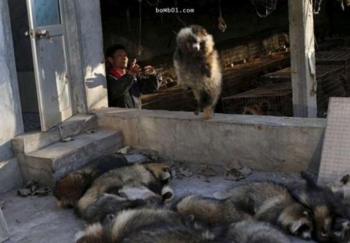 Đây là cảnh thường ngày trong cáclò mổ động vật đội lốt trang trại.