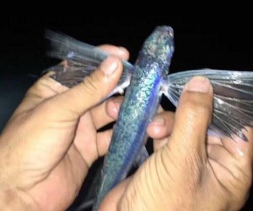 Vây xanh lấp lánh như loài cá tiên.