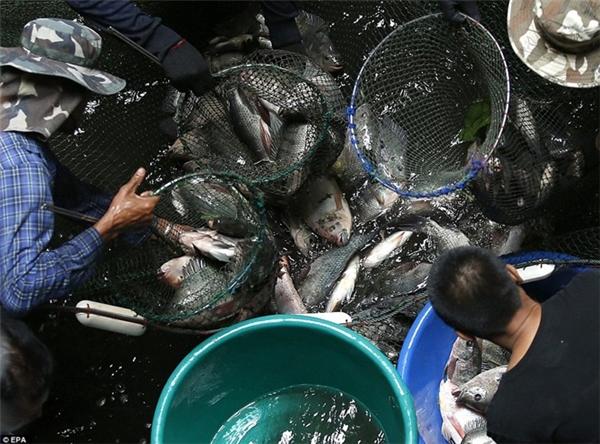 Người dân quanh đó cũng dùng các vật dụng như lưới, xô và vợt để thu gom và chuyển những số cá này ra ngoài. (Ảnh: EPA)