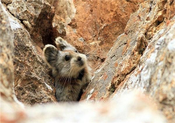 Cận cảnh Ili Pika - một giống thỏ cực quý hiếm trên thế giới. (Ảnh: Internet)