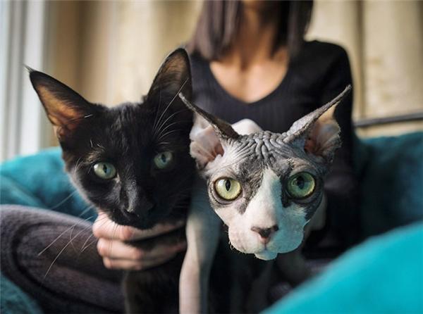 """Đây là hai chú mèo khác cũng bị cạo lông, nhổ ria để """"cải trang"""" thành mèo Sphynx và lừa bán cho khách hàng."""