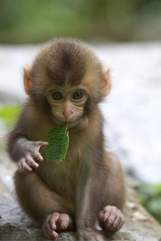 Cảm giác của bạn ra sao khi nhìn thấy một chú khỉ con sống sờ sờbị đem lên bàn ăn và… óc của chúng trở thành nguồn dinh dưỡngtrong ngày của bạn?